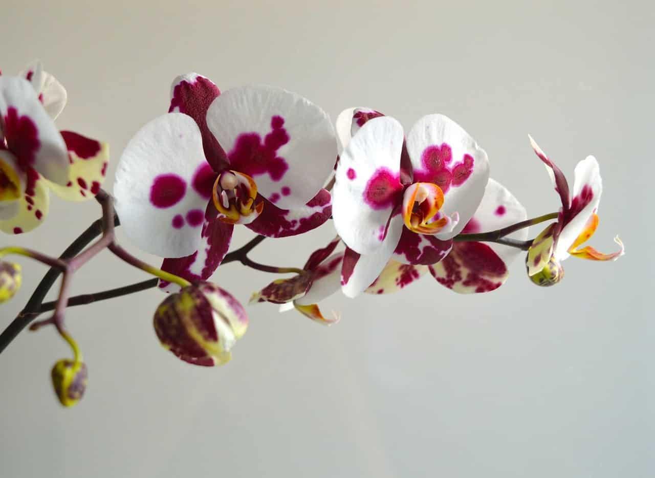 flores orquidea